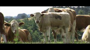 klimaaendringer i groenland film3 kvaeg paa graes